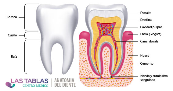 Anatomía del diente por centro médico las tablas